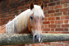 Horse of palomino color in the stall. Portrait of horse of palomino color in the stall Stock Image