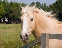 Horse Palomino Head Portrait. Close-up photo of a beautiful palomino horses head Stock Photos