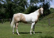 Horse Palomino portrait Stock Photos