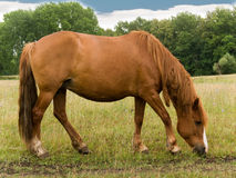 Horse on a pasture Royalty Free Stock Image
