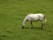 Horse in Pasture. Horse grazing in Green Pasture royalty free stock photography