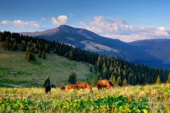 Horse on a pasture. Horse grazing in a mountain valley. Ukraine, mountains Carpathians, kind on a mountain the Black mountain 2028 meters stock images