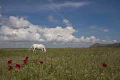 Horse on pasture Royalty Free Stock Photos