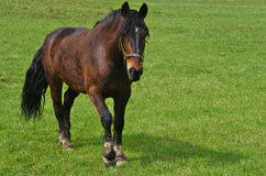 Horse on pasture. Horse walk over green pasture Royalty Free Stock Photography