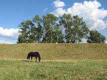 Horse on the pasture. Horse grazed on a pasture in the early morning Royalty Free Stock Photos