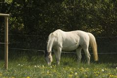 Horse in the pasture. After a long winter in the stable the first green grass of the year seems to taste even beter then any other Royalty Free Stock Photography
