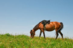 Horse on a pasture Stock Photography