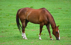 Horse in pasture Royalty Free Stock Photos