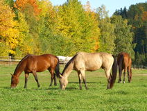 Horse pasture. Privacy farmer horse-breeding Stock Photography