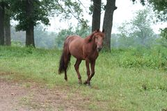 Horse in pasture. A beautiful sorrel stallion walking in pasture stock photography