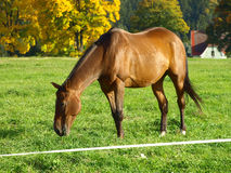 Horse pasture. Horses on pasture. Greenfield is a horse passport. Raising of horses. Privacy farmer. Photos Stock Photo