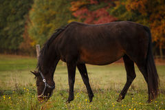 Horse on pasture and autumnal landscape Stock Images