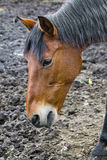 Horse without pasture Stock Photography