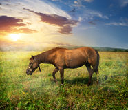 Horse on pasture. Beautiful horse on a pasture at sunrise Royalty Free Stock Images