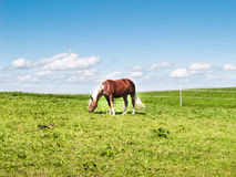 Horse on the pasture (177) Royalty Free Stock Image