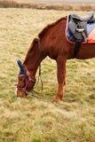 Horse at pasture Royalty Free Stock Photo