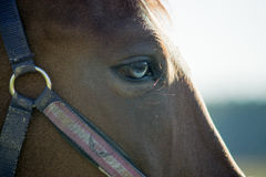 Horse. Are on pasture. Close- eye Royalty Free Stock Image