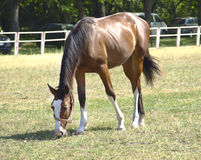 The horse in the pasture. Eats green grass stock photography