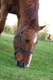 Horse On Pasture. Evening farm. Closeup of red horse eating grass on pasture stock photography
