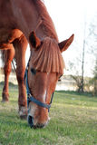 Horse On Pasture. Evening farm. Closeup of red horse eating grass on pasture royalty free stock photo