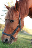 Horse On Pasture. Evening farm. Closeup of red horse eating grass on pasture royalty free stock image