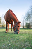 Horse On Pasture. Evening farm. Closeup of red horse eating grass on pasture royalty free stock photos