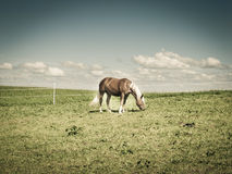 Horse on the pasture (173) Royalty Free Stock Images