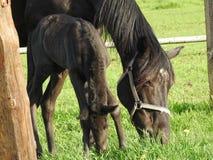 Horse, Pasture, Fauna, Horse Like Mammal royalty free stock photos