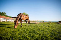 Horse on pasture at field. Beautiful horse pasture grass on the ranch royalty free stock images