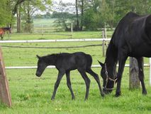 Horse, Pasture, Foal, Mare Stock Photo