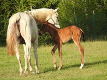 Horse, Pasture, Foal, Mare Stock Photography