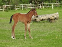 Horse, Pasture, Foal, Mare Royalty Free Stock Images