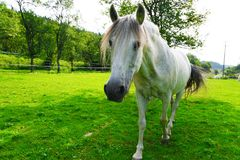 Horse, Pasture, Grass, Horse Like Mammal royalty free stock photography