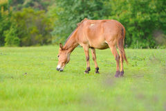 Horse on the pasture Royalty Free Stock Photo