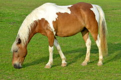 Horse in Pasture Grazing Stock Photo