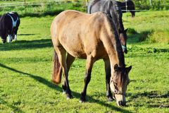 Horse, Pasture, Grazing, Grass Royalty Free Stock Photos
