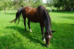 Horse, Pasture, Grazing, Grass Royalty Free Stock Photography