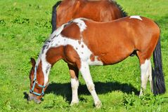 Horse, Pasture, Grazing, Mare Royalty Free Stock Photos