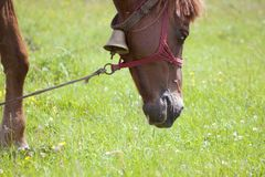 Horse in pasture on a green field in spring. Brown horse with bell in pasture on a green field in spring Stock Images