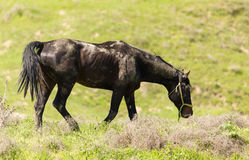 A horse in the pasture on a green lawn Stock Photography