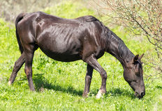 A horse in the pasture on a green lawn.  Stock Photos