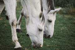 Horse in the pasture Stock Photography