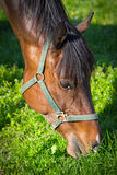 Horse on pasture Stock Photography
