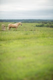 Horse in a pasture Royalty Free Stock Photo