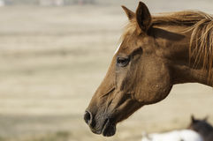 A Horse in Pasture (Headshot) Royalty Free Stock Photography