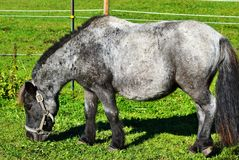 Horse, Pasture, Horse Like Mammal, Grass stock image