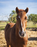 Horse on the pasture Stock Photography
