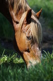 The horse in the pasture. Royalty Free Stock Images