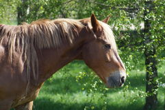The horse in the pasture. Royalty Free Stock Photography