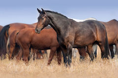 Horse on pasture. Mare in herd on autumn pasture Royalty Free Stock Photos